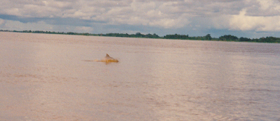 Amazon pink dolphins