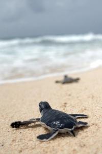 Proyecto universitario de estudio y conservacion de tortugas marinas.  Trabajo de campo en la Peninsula de Guanahacabibes, Pinar del Rio, 7 al 19 de agosto de 2007.   Foto©Rene Perez Massola